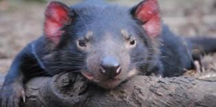 Altersheim für Tasmanische Teufel eröffnet