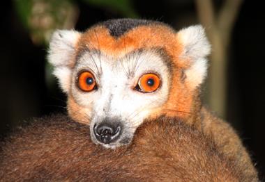 Nur auf Madagaskar heimisch sind die verschiedenen Lemuren-Arten. (Foto Karsten-Thilo Raab)