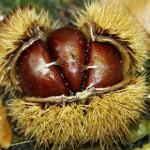 Früchte des Brotbaums aus der Ardéche