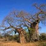 Rooibos – das Lebenselixier aus Südafrika