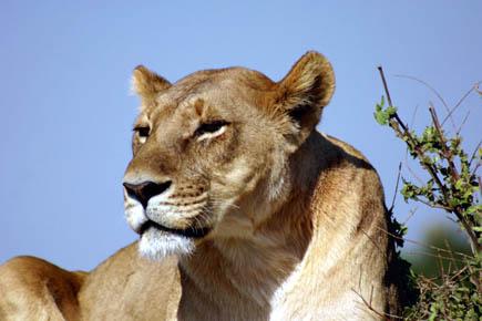 Löwen fühlen sich in den ursprünglichen, monumentalen Landschaften Botswanas wohl. Foto djd/Botswana Tourism Organisation