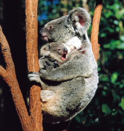 Koala+Baby_Copyright_TourismQueensland