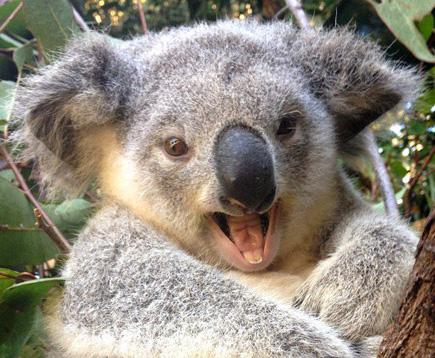 Koala_Copyright_TourismQueensland