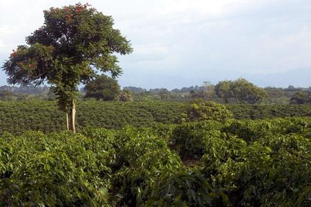 Kaffee-Plantage in Quimbaya, Foto Shaun McRae.