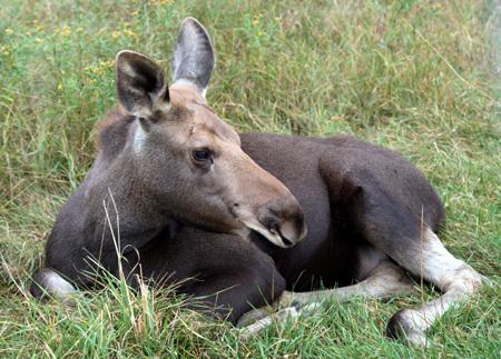 Moose-Kalb-2, Copyright Karsten-Thilo Raab