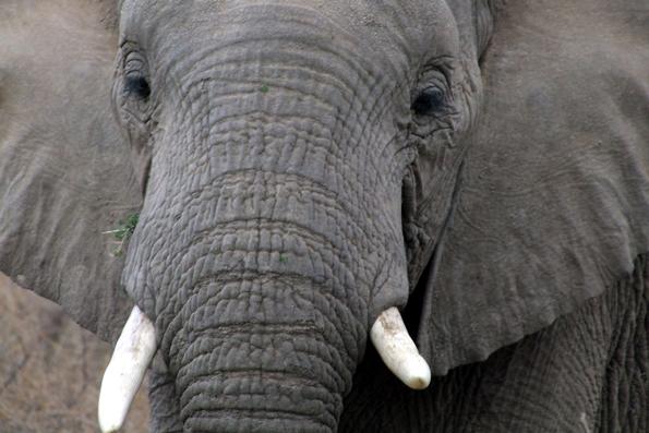 Auge in Auge mit Elefanten und Co.: Auf einer Safari kommt man den Wildtieren ganz nah. (Foto: Botswana Department of Tourism)