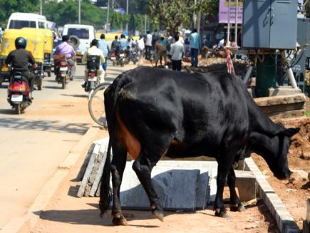 Nepals heilige Kühe lassen sich durch Nichts und Niemanden stören. (Foto: Karsten-Thilo Raab)