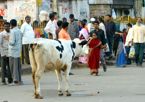 Kühe genießen auf Nepals Straßen Narrenfreiheit, gelten sie doch als heilig. (Foto: Karsten-Thilo Raab)
