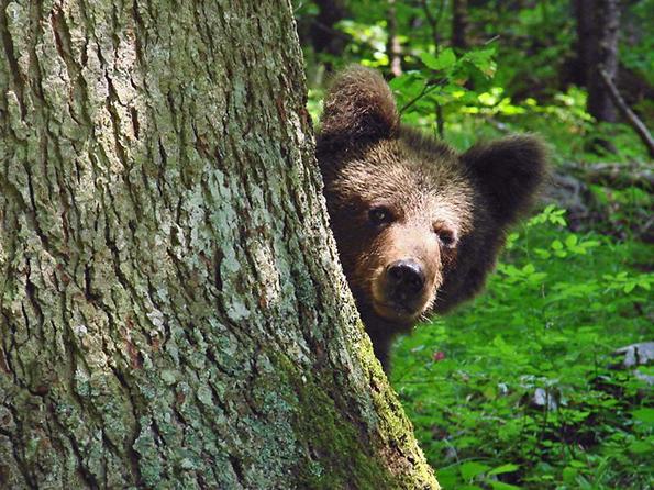 Begenungen mit Bären sind rund um die Karsthöhlen des Gorski Kotar durchaus möglich.