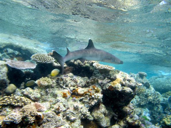 Tierische Begegnungen sind bei Tauchgänger vor der Küste von Belize und Honduras nicht ausgeschlossen.
