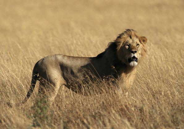 Gefährlich, dennoch überaus faszinierend: Löwen in freier Wildbahn.