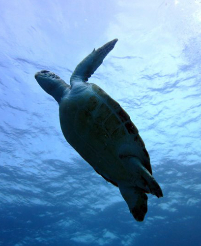 Begegnungen mit Schildkröten sind vor Teneriffa keine Seltenheit.