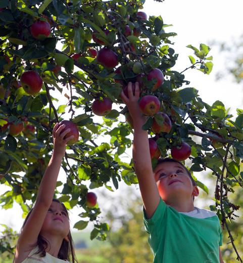 Unterwegs bieten sich entlang des Apfel-Radweges immer wieder Gelegenheiten, zu naschen.