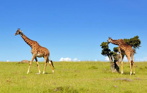 In Kenias neuem Wildschutzgebiet Amu Ranch können sich Giraffen geborgen fühlen.
