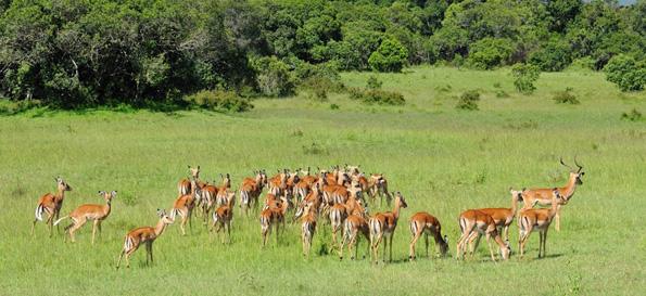 Auch Impala-Antilopen gehören zum Wildbestand der Amz Ranch. (Fotos Kenya Tourism Board)