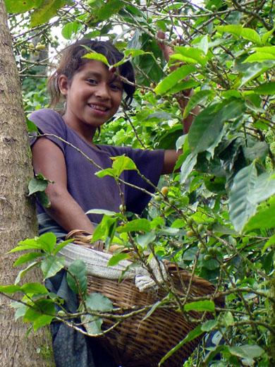 Eine junge Kaffeeplückerinnen in Nicaragua bei der Arbeit. (Foto: CATA)