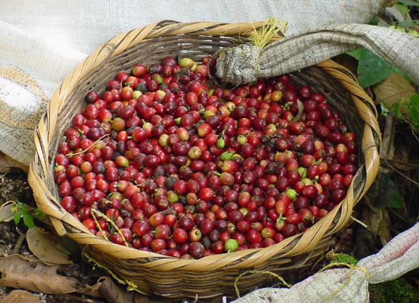 Wichtiger bestandteil der Wirtschaft in Nicaragua: der Kaffeanbau. (Foto: CATA)