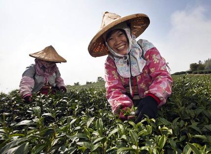 Teepflücker in Taiwan lassen sich bei ihrer Arbeit gerne bereitwillig über die Schultern schauen.