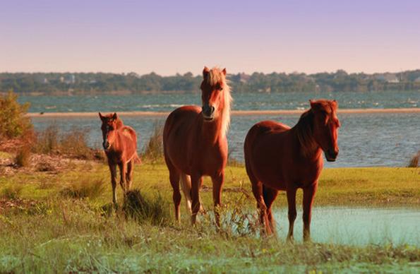 Wilde Mustangs gelten als Symbol der Freiheit im US-Bundesstaat North Carolina.