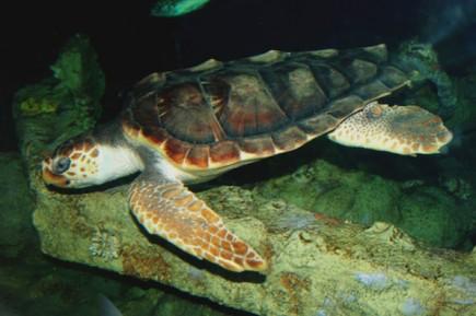 In jedem Sommer kommen hunderte verschiedene Arten von Wasserschildkröten an die Strände von North Carolina.