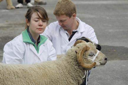 Beim Schafsmarkt in Masham wird gemessen, gewogen, beäugt. (Foto: Udo Haafke)