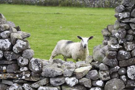 Typische für den Norden von Yorkshire: Steinmauern und Schafe. (Foto: Udo Haafke)