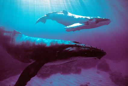 Hautnah zu bewundern: Buckelwale vor den Austral-Inseln. (Foto: Yves Lefevre)
