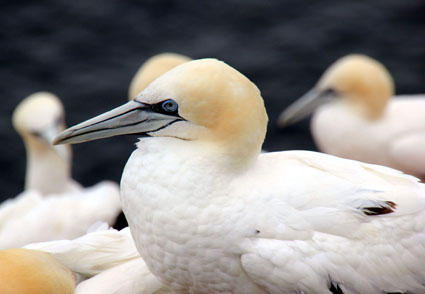 Auf dem Lummenfelsen tummeln sich Tausende Seevögel. (Foto: Karsten-Thilo Raab)