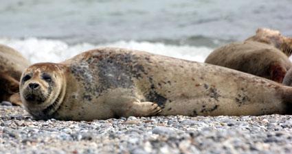 Speckrollen mit Charme: Kegelrobben am Strand von Düne. (Foto: Karsten-Thilo Raab)