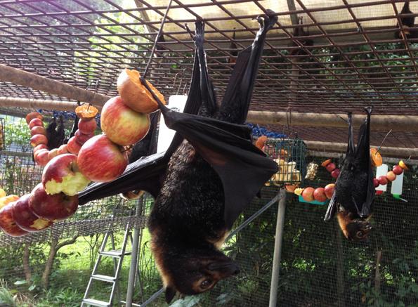 Kranke und verletzte Fledermäuse können im Tolga Bat Hospital so richtig entspannt abhängen.