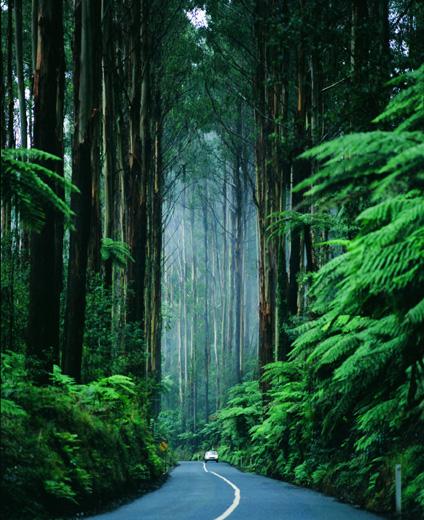 Gigantische Baumriesen sind in den Dandenong Ranges zu finden. (Foto Tourism Victoria)