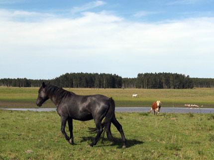 Pferde und Rinder sind in den unendlichen Weiten Uruguays anzutreffen. (Foto: Daniel A. Kempken)