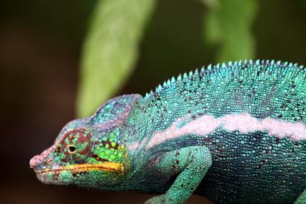 Auch Chamäleons sind auf Madagaskar zu finden. (Foto: Karsten-Thilo Raab)