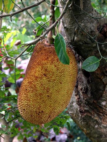 Ein Beswonderheit auf Madagaskar: Die Jack-Frucht. (Foto: Karsten-Thilo Raab)