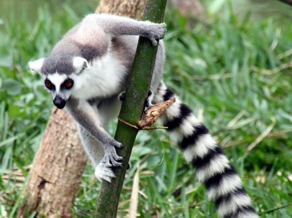 was fressen lemuren