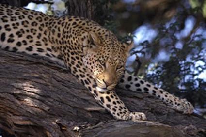 Auch Leoparden chillen zwischenzeitlich, um sich für die nächste Jagd auszuruhen. (Fotos: www.dein-suedafrika.de