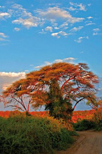 Wenn sich zwischen November und April die Wasserlöcher füllen, blüht der Busch auf.