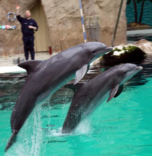 Haben sichtlich Spaß an ihren Sprüngen: die Delfine im Duisburger Delfinarium. (Foto: Karsten-Thilo Raab)