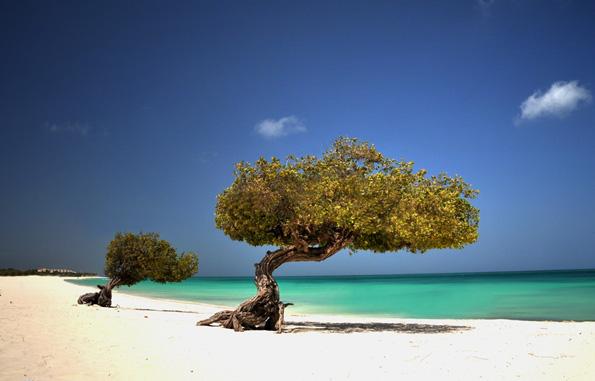 Statt  unter dem obligatorischen Tannenbaum lässt sich auf Aruba auch ein sonniges Weihnachtsfest im Schatten der Divi Divi Bäume genießen.