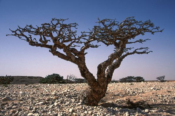 Im botanischen Garten des Naturkundemuseums in Muskat ist auch ein landestypischer Weihrauchbaum zu sehen. (Foto: djd)