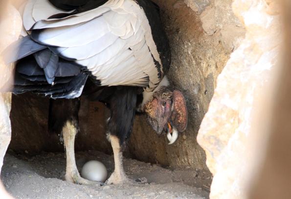 Erstmals wird via Livestream der weltweite Fokus auf die Geburt eines Kondorbabys gelenkt.