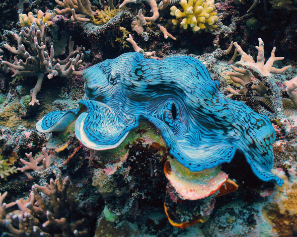 Eine Besonderheit vor der Küste Australiens: Die bunten Riesenmuscheln.