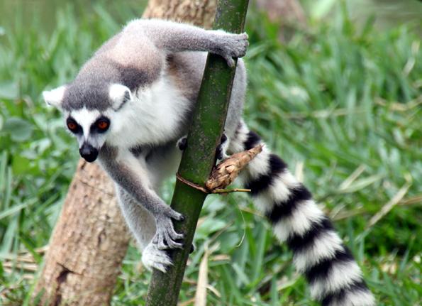 Einmalig auf Madagaskar: Tierische Begegnungen mit verschiedenen Lemuren-Arten sind quasi vorprogrammiert. (Foto: Karsten-Thilo Raab)