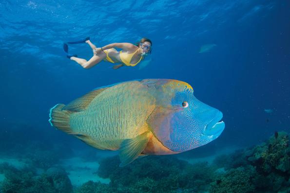 Einer der Big 8 am Great Barrier Reef: Der Napoleonlipfisch.