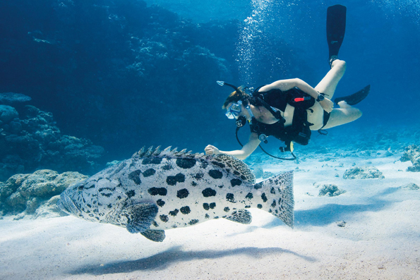 Beeidnruckende Begegnung mit einem Zackenbarsch am Great Barrier Reef.