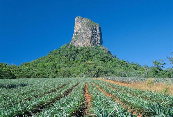 Im wahrsten Sinne des Wortes ein Höhepunkt am Sunshine Coast Food Trail: Die Glass House Mountains mit der davor liegenden Ananasplantage.
