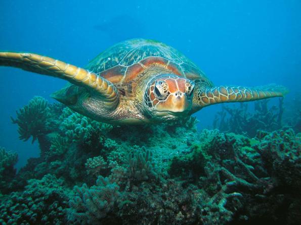 Sechs der sieben weltweit existierenden Meeresschildkröten sind am Greta Barrier Reef zu finden.