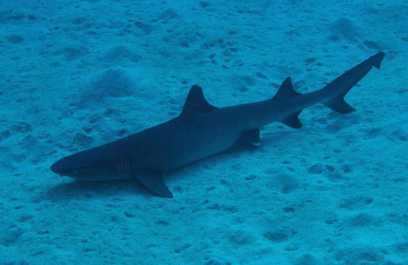 Natürlich tuimmeln sich am Great Barrier Reef auch verschiedene Hai-Arten. Die meisten sind für Menschen ungefährlich.