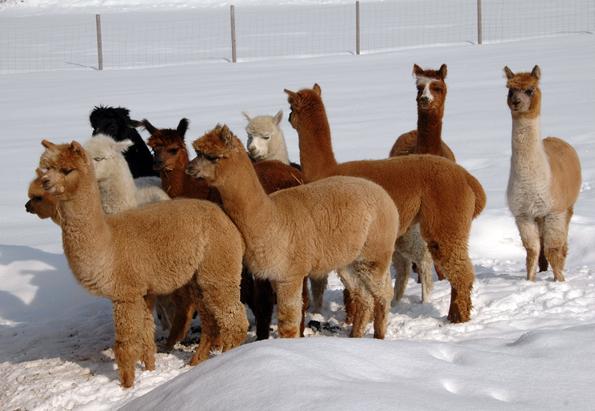 Treue Begleiter auf ungewöhnlichen winterlichen Trekking-Touren: Die Alpakas in Inzell.