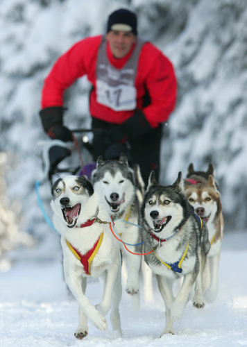 Beim Hundeschlittenrennen kämpfen die Gespanne in Inzell um den nationalen Titel.
